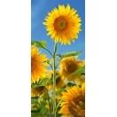 Fotografie tapet Floarea soarelui 2