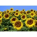 Fotografie tapet Florea soarelui de aproape XL