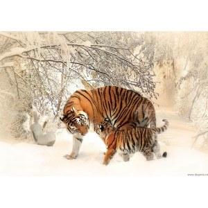 Fotografie tapet Tigri - dragoste