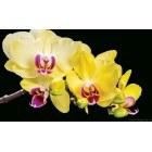 Fotografie tapet Orhidee galbena 3D