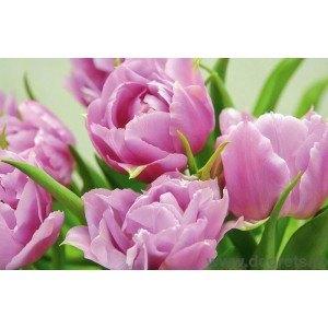 Fotografie tapet Lalele violet