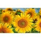 Fotografie tapet Floarea soarelui