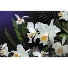 Fotografie tapet Orhidee salbatica