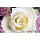 Fotografie tapet Alb trandafir