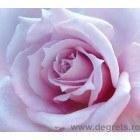 Fotografie tapet Trandafir violet