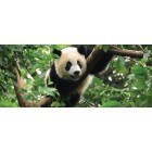 Fotografie tapet Panda Vlies