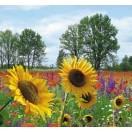 Fotografie tapet camp de floarea soarelui