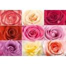 Fotografie tapet trandafiri colorati